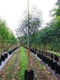 "Fraxinus Griffithii ""Evergreen Ash"""