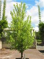 Pittosporum Mountain Green