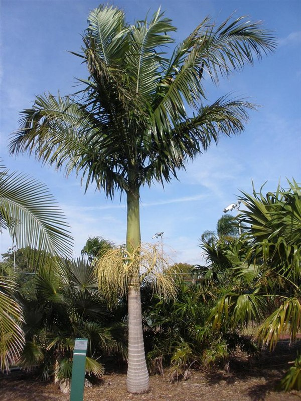 Archontophoenix Alexandrae - Alexandra Palm - Trees & More Ltd