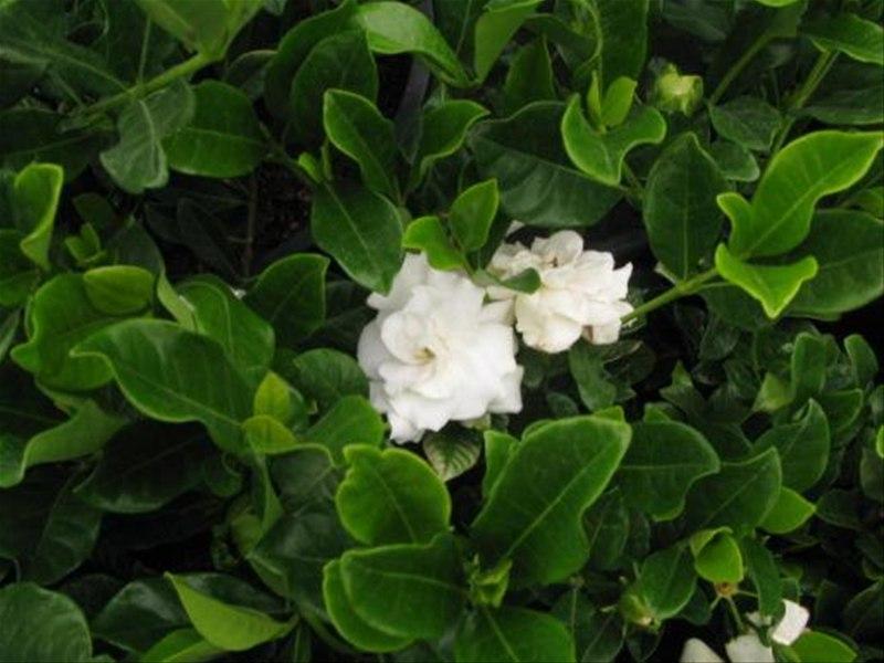 Gardenia Veitchii , Trees \u0026 More Ltd